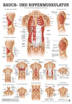 Bauch- und Rippenmuskulatur (Poster 50cm x 70cm)