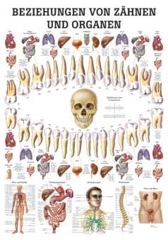 Beziehung von Zähnen und Organen Poster 24cm x 34cm