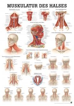 Muskulatur des Halses (Poster 50cm x 70cm)
