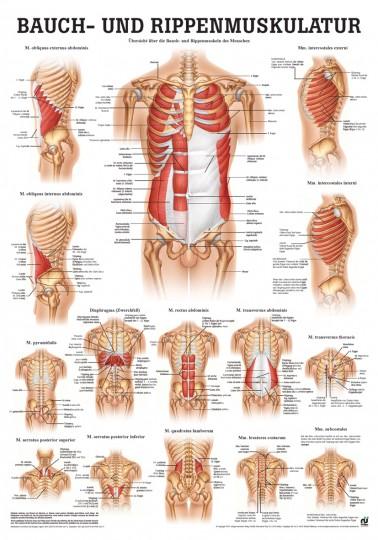 Anatomie-Poster & Lehrtafeln kaufen bei YOGISHOP   Yoga, Yogamatten ...