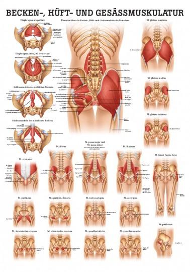 Becken-, Hüft- und Gesässmuskulatur (Poster 50cm x 70cm)