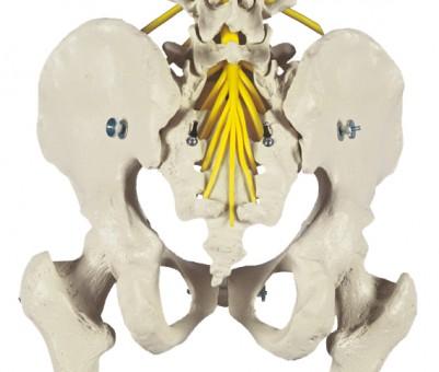 Menschliches Skelett, flexibel
