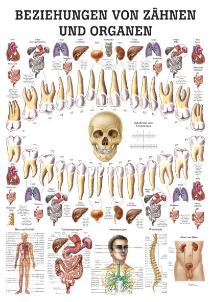 Beziehung von Zähnen und Organen