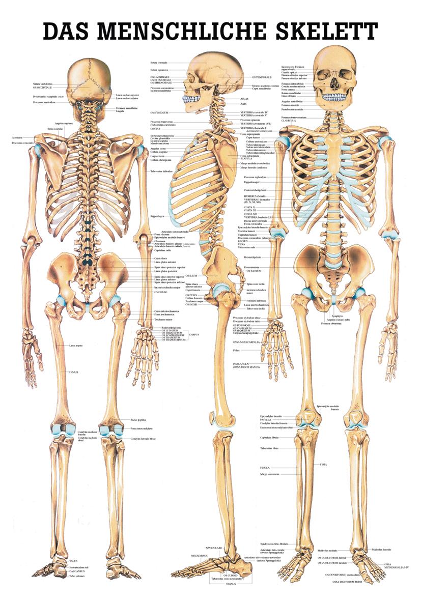 Das menschliche Skelett im YOGISHOP kaufen | Yoga, Yogamatten & Yoga ...