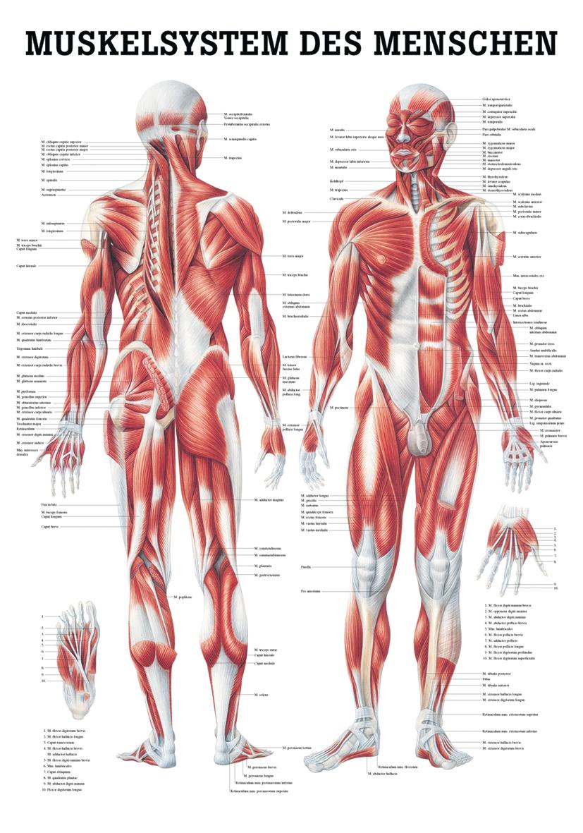 Niedlich Beine Muskeln Anatomie Galerie - Physiologie Von ...